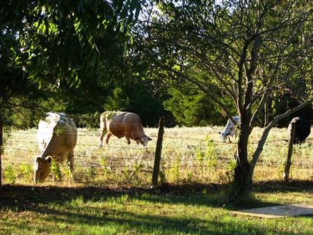 cowsbackyard