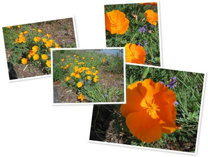 View california poppies