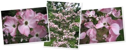 View pink dogwood