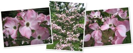 View pink dogwood