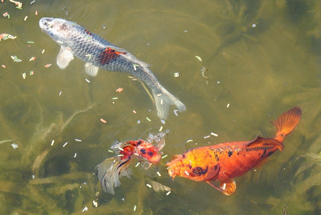 Le bassin de nathalie page 2 au jardin forum de jardinage for Croisement carpe koi poisson rouge