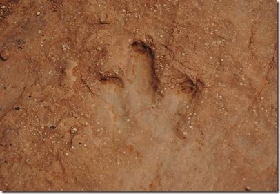 dinasaur tracks 082