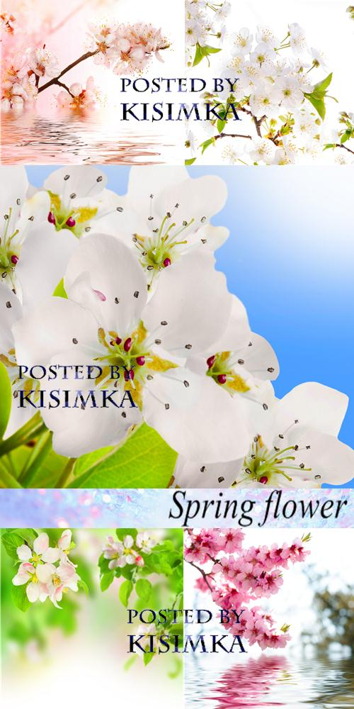 Stock Photo: Spring flower. Cherry flowers