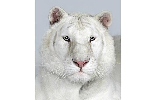 http://lh5.ggpht.com/_8jbLh9YEAEI/SeXqLXDCkOI/AAAAAAAAJFg/femJzq-bGp0/Royal-white-female_1383946i.jpg