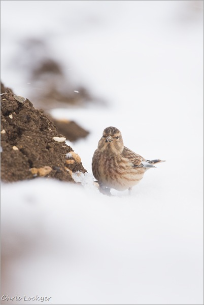 Yellowhammer in Snow