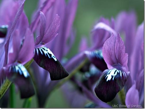 purple irises ubc botanicla garden