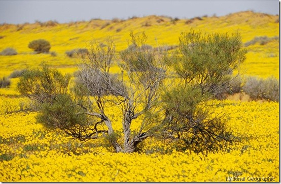 yellow-wildflowers- national geographic
