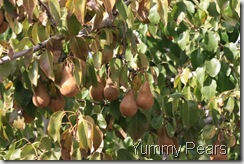 IMG_5169-brown-pears