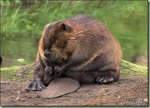 beaver-picture discovery