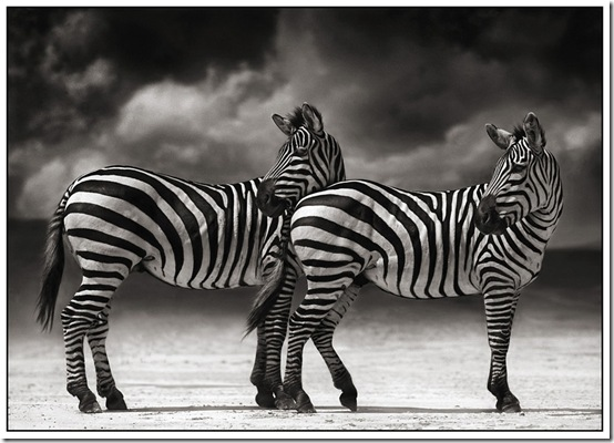 3 Zebras Turning Heads