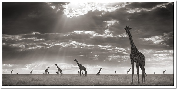 GiraffesInEveningLight