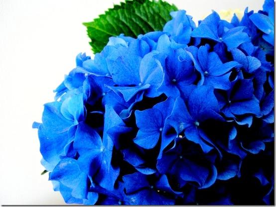blue hydrangea flickr