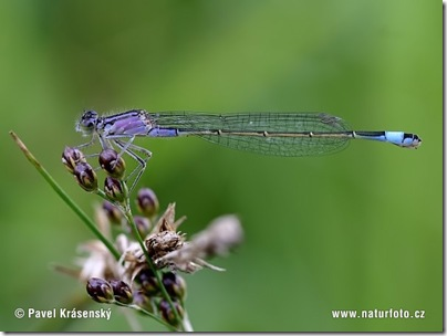 blue-tailed-damselfly-1007