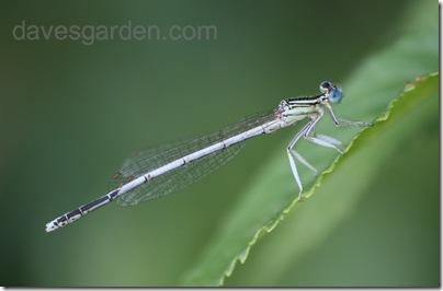 white damselfly