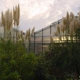 Cortaderia. selloana ou Gynerium, Herbe de la pampa