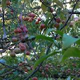 Pommier d'ornement - Malus