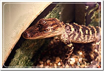 alligator3_2011
