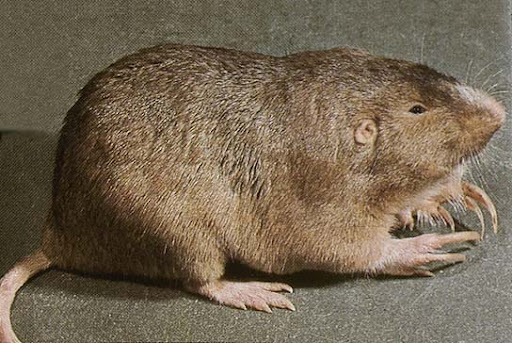 What does a pocket gopher look like 11