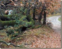 Chêne hybride_arbre remarquable (4)