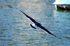 Seagull soars over Shinobazu Pond