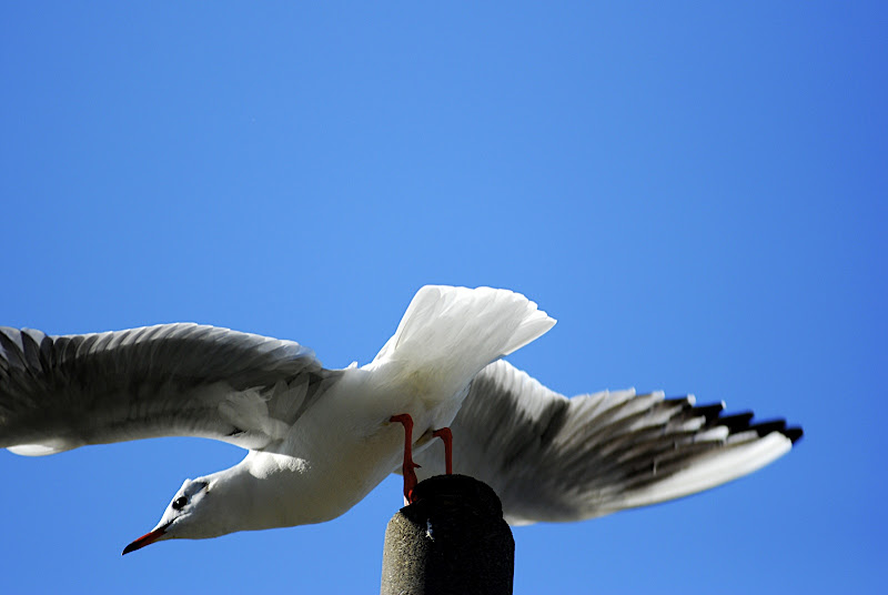 Sea gulls compete for perches