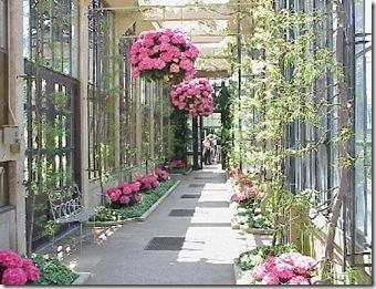 google pink hydrangeas in conservatory