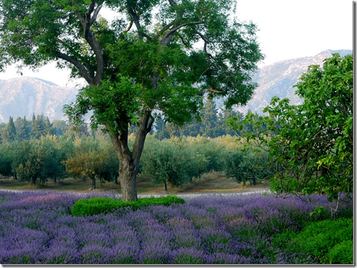 French Essence Vicki Archer lavender field photo Carla Coulson