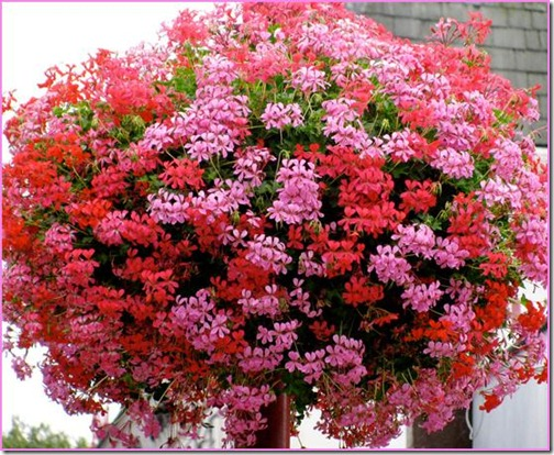 geraniums%203