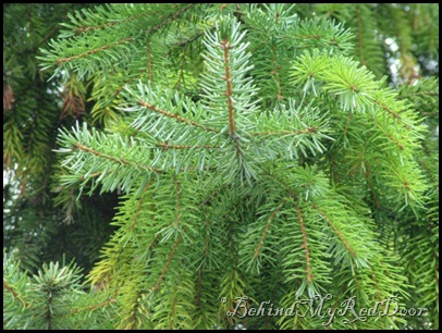 -pine-tree