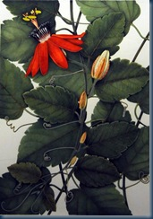 Passiflora coccinea