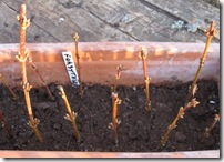 forsythia cuttings