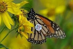 Tagged_Monarch_IMGP0204