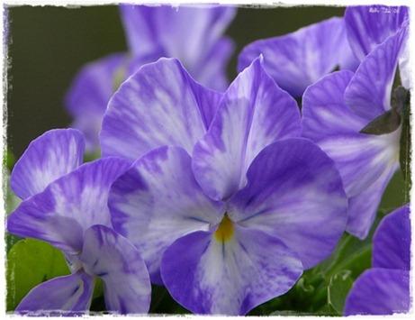 13 viol