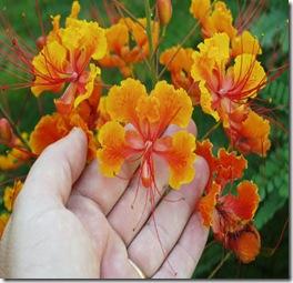 Caesalpinia_pulcherrima_flowerCU