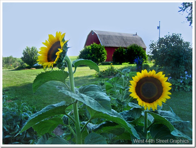 Sunflowers barn