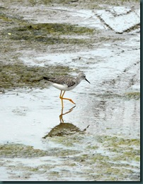 yellowlegs (5)