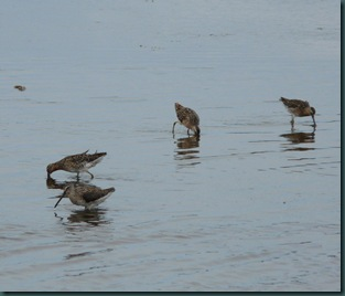 dowitchers (1)
