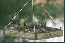 finches in feeder 0908 (2)