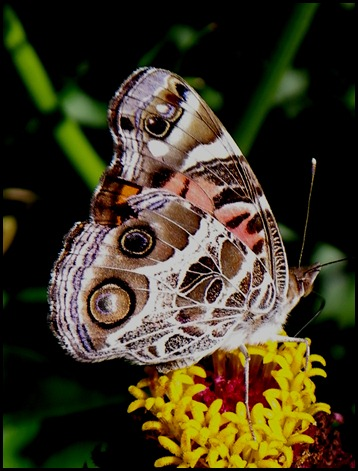 painted lady0710 (3)