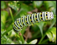 swallowtail caterpillar (3)