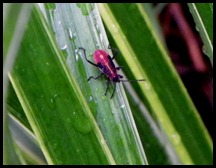 red bugs (2)