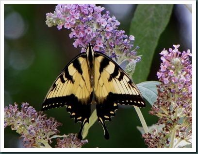 eastern yellow swallowtail (3)