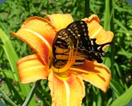 swallowtail-day lily (6)