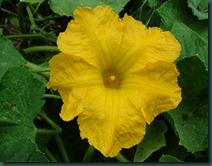 yellow squash flwr0728