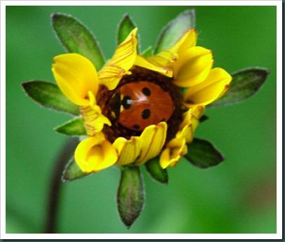 ladybug in flwr0510 (1)