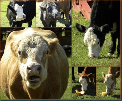 cow collage2