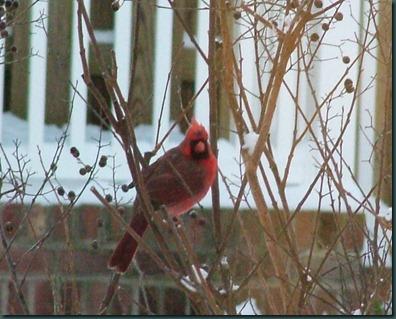 male cardinal1210 (7)