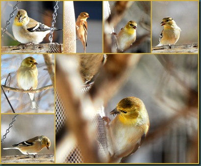 goldfinches collage1