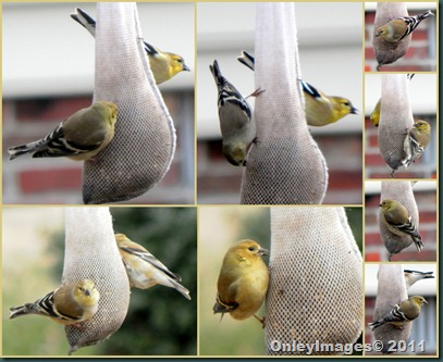 goldfinch collage0124