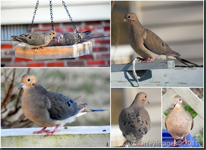 mourning doves collage